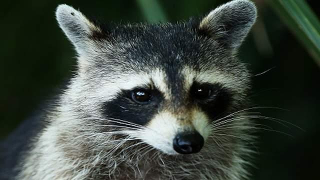 Authorities warn about rabid raccoons found near Roanoke River Greenway
