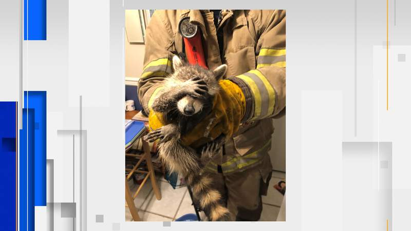 Photo of adorably 'embarrassed' raccoon goes viral.