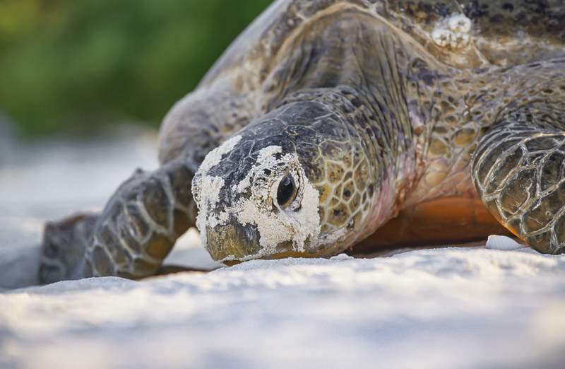 MADAGASCAR, INDIAN OCEAN - APRIL 2020: Close-up on a female green sea turtle (Chelonia mydas) laying eggs on a beach on April 21, 2020, North of Madagascar, Indian Ocean. A green sea turtle can lay around 150 eggs. Only 2% of hatchling turtles survive after reaching the ocean. (Photo by Alexis Rosenfeld/Getty Images)