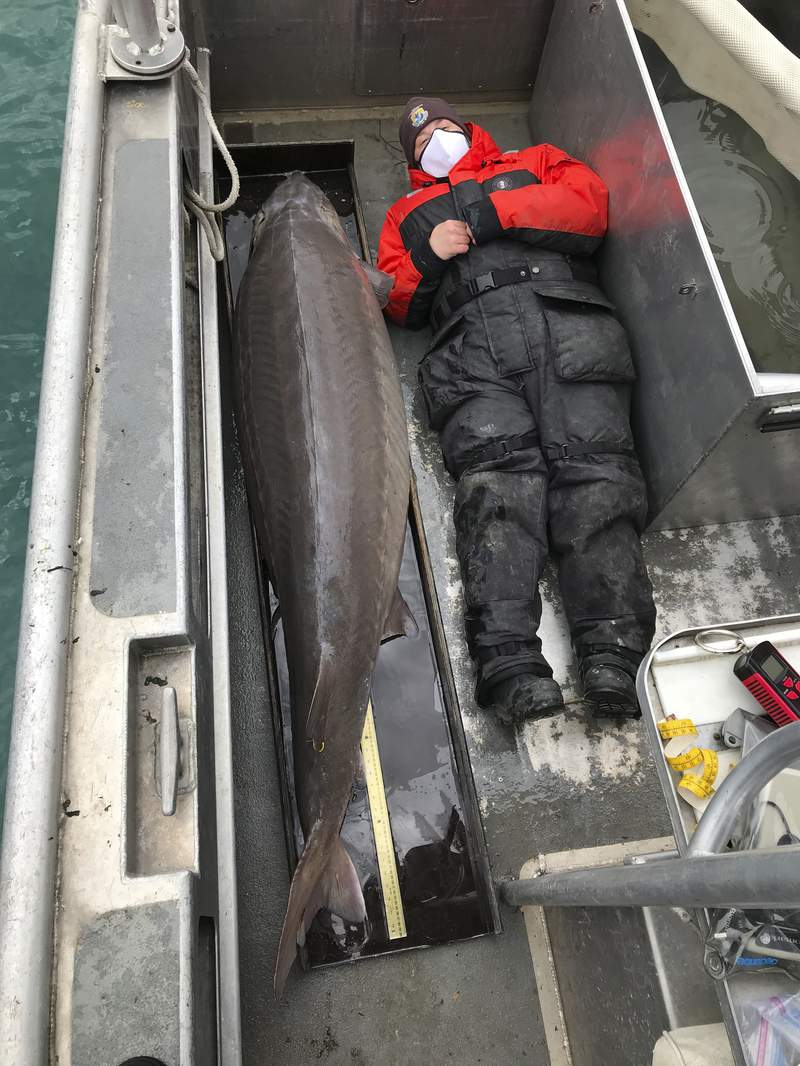 """This April 22, 2021 photo provided by U.S. Fish and Wildlife Service shows a 240-pound (108.8 kilograms) sturgeon that could be more than 100 years old was caught last week in the Detroit River by the U.S. Fish and Wildlife Service with a USFWS staffer laying next to it. The 240-pound, nearly 7 foot long fish, assumed to be a female was quickly released back into the river"""" after being weighed and measured into the river. (U.S. Fish and Wildlife Service via AP)"""