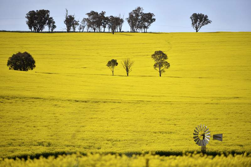 A windmill pokes above a canola crop near Harden, 350 kms. (217 miles) south west of Sydney, Sept. 17, 2020. Australia is forecast to reap record revenue from farming this year despite pandemic challenges, a mouse plague and a trade dispute with China, according to a report released on Tuesday, Sept. 14, 2021, by the Agriculture Department's research branch. (Mick Tsikas/AAP Image via AP)