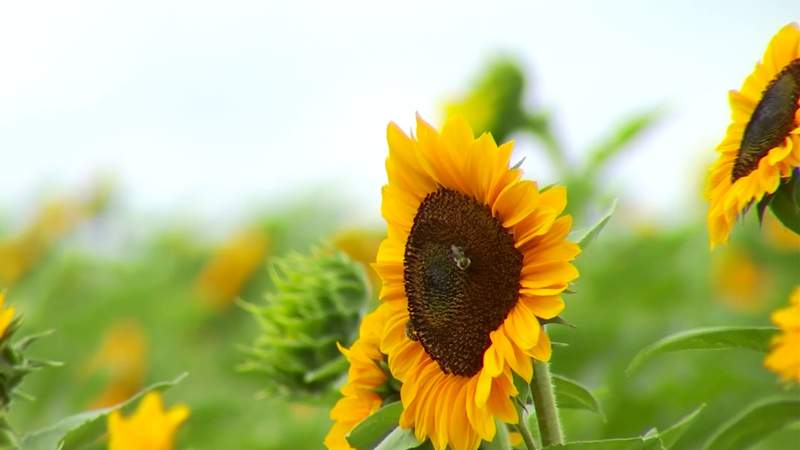 First sunflower festival at Sinkland Farms