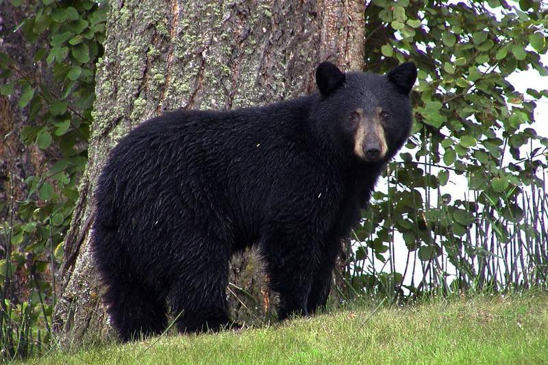 Stock image of a black bear.