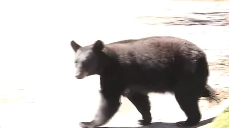 Black bear season now underway in Southwest Virginia