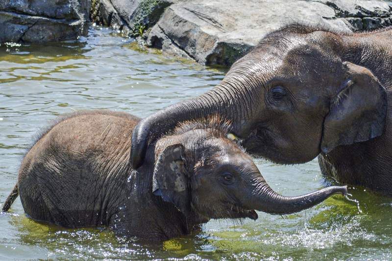 This photo, provided by the Rosamond Gifford Zoo, shows elephant calf, Ajay, with his big brother, Batu, age 5, in Syracuse, N.Y. The Rosamond Gifford Zoo announced the death of Ajay, an Asian elephant calf, on Wednesday, Dec. 9, 2020. He died from Elephant Endotheliotropic Herpes Virus, which poses a high risk to young elephants. (Erin Fingar/Rosamond Gifford Zoo via AP)