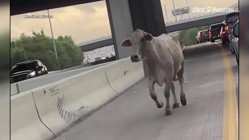 Cow and alligator stop traffic in Houston