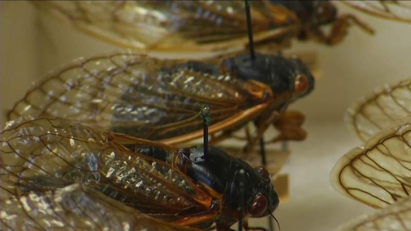Cicadas could cause damage to trees and orchards