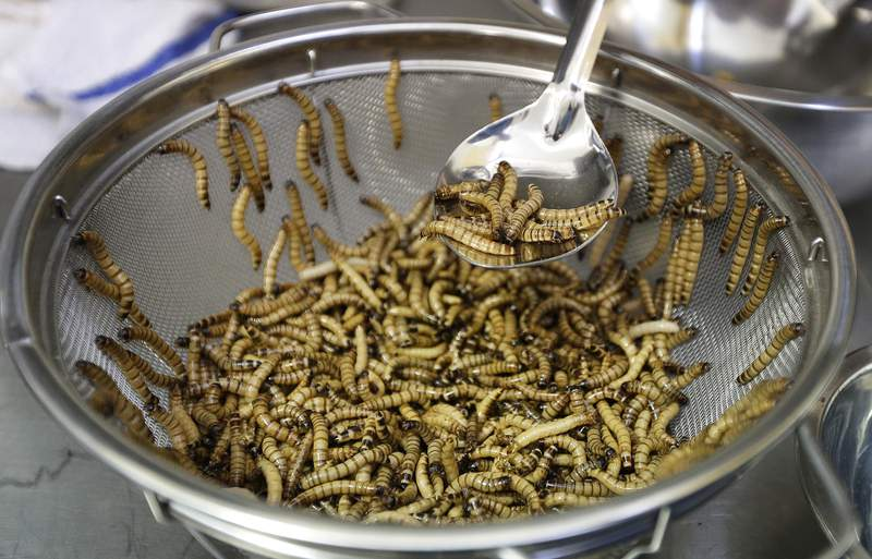 FILE - In this Feb. 18, 2015 file photo, meal worms are sorted before being cooked in San Francisco. The vaunted Mediterranean diet and the French bon gout are getting some competition: The European food safety agency says worms are safe to eat. The Parma-based agency published a scientific opinion Wednesday on the safety of dried yellow mealworms and gave them a thumbs up. Researchers said the worms, either eaten whole or in powdered form, are a protein-rich snack or ingredient for other foods. (AP Photo/Ben Margot)