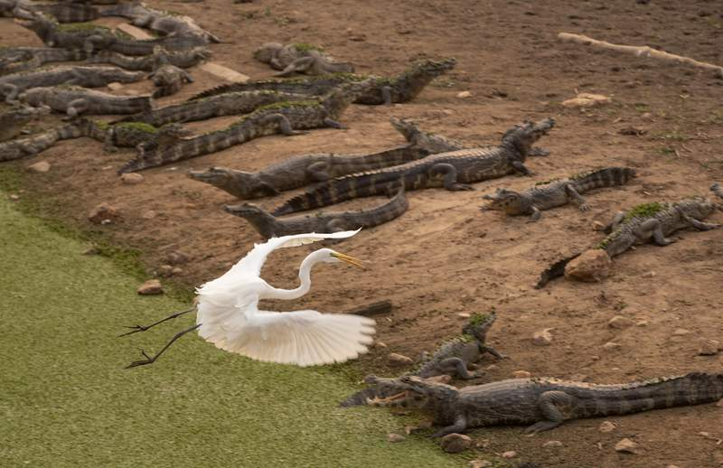FILE - In this Sept. 14, 2020 file photo, an egret flies over a bask of caiman on the banks of the almost dried up Bento Gomes river, in the Pantanal wetlands near Pocone, Mato Grosso state, Brazil. The number of Amazon fires was just over half the level recorded in September last year, according to the daily September 2021 data released by the Brazilian National Institute for Space Research, along with a sharp drop in the amount of fires in the Pantanal wetlands. September is historically Brazil's worst month for forest fires. (AP Photo/Andre Penner, File)