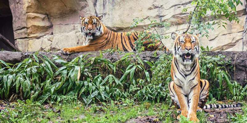 Two tigers at the Virginia Zoo in Norfolk have tested positive for COVID-19