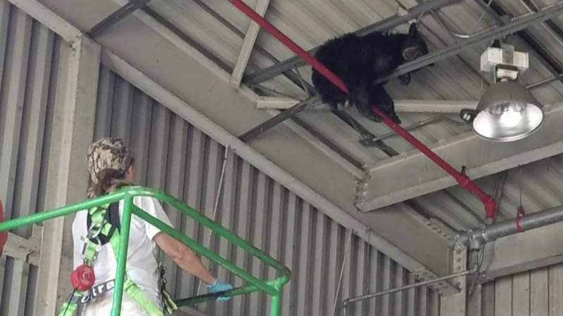 Bear rescued after getting stuck in rafters