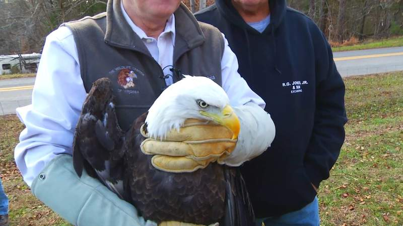 Eagle released on New Year's Day after being found by Chatham farmer