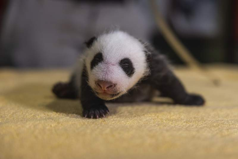 This handout photo released by the Smithsonian's National Zoo shows a new 6-week old, still-unnamed, baby boy panda, born Aug. 21, 2020 at the zoo.   (Roshan Patel/Smithsonians National Zoo via AP)
