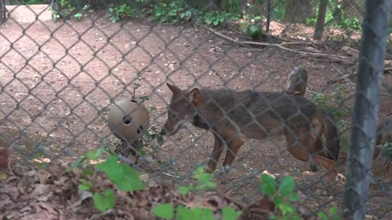 You've got to see the red wolves, other animals at the Mill Mountain Zoo