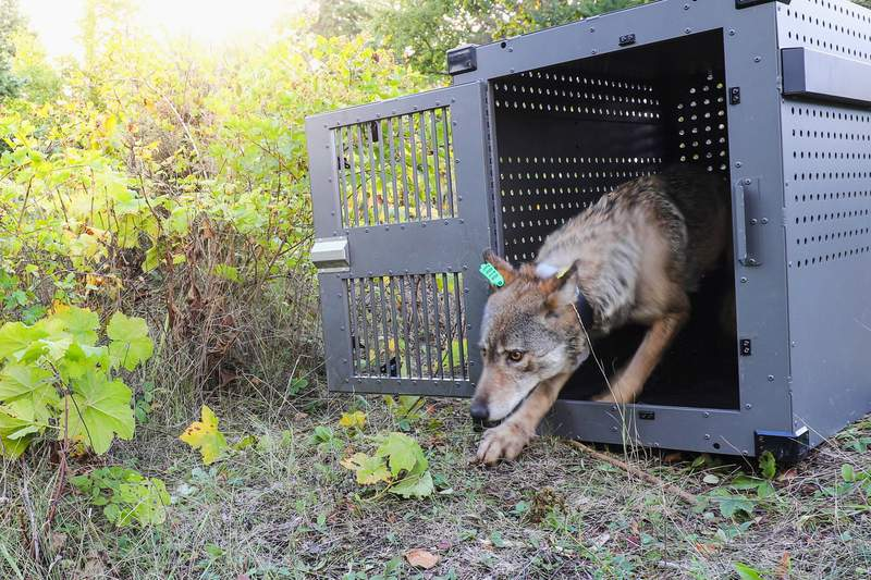 FILE - In this Sept. 26, 2018, file photo, provided by the National Park Service, a 4-year-old female gray wolf emerges from her cage as it is released at Isle Royale National Park in Michigan. Wolf pups have been spotted again on Isle Royale, a hopeful sign in the effort to rebuild the predator species' population at the Lake Superior national park, scientists said Monday, July 12, 2021. (National Park Service via AP, File)