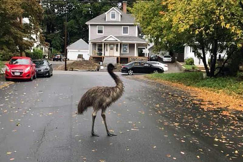 In this photo released by the Haverhill Police Department, an emu walks on a neighborhood street on Wednesday, Sept. 30, 2020, in Haverhill, Mass. An animal control officer with the assistance of patrol officers safely corralled the big bird. (Haverhill Police Department via AP)