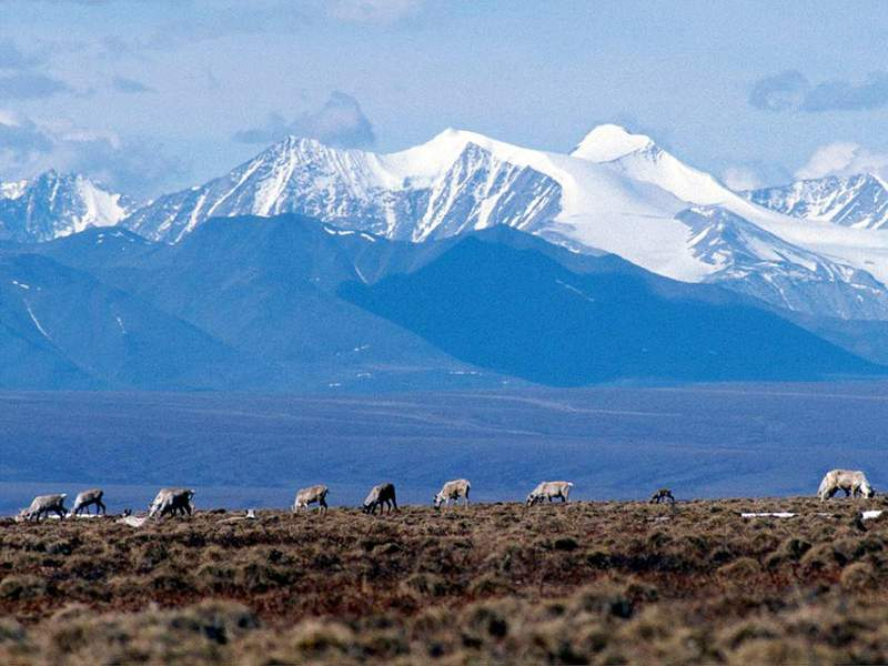 FILE - In this June 1, 2001 file photo Caribou graze in the Arctic National Wildlife Refuge in Alaska. U.S. District Judge Sharon Gleason, on Wednesday, Aug. 18, 2021, has thrown out the Trump administration's approval for a massive oil project on Alaska's North Slope, saying the federal review was flawed and didn't include mitigation measures for polar bears. (AP Photo/File)