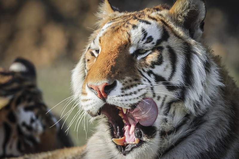 KEENESBURG, CO - APRIL 05: One of the 39 tigers rescued in 2017 from Joe Exotic's G.W. Exotic Animal Park relaxes at the Wild Animal Sanctuary on April 5, 2020 in Keenesburg, Colorado. Exotic, star of the wildly successful Netflix docu-series Tiger King, is currently in prison for a murder-for-hire plot and surrendered some of his animals to the Wild Animal Sanctuary. The Sanctuary cares for some 550 animals on two expansive reserves in Colorado. (Photo by Marc Piscotty/Getty Images)