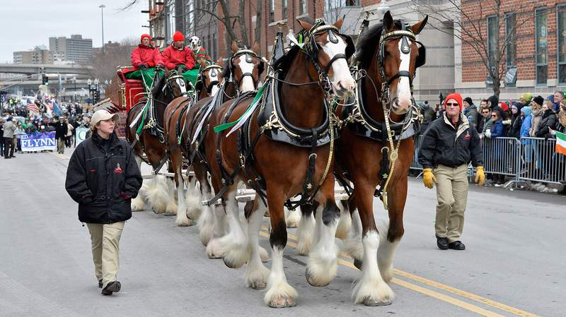 The Budweiser Clydesdales participate in the St. Patrick's Day Parade on March 19, 2017 in Boston, Massachusetts. (Photo by Paul Marotta/Getty Images)