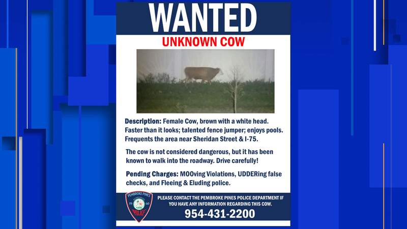 Authorities are searching for a cow in Florida