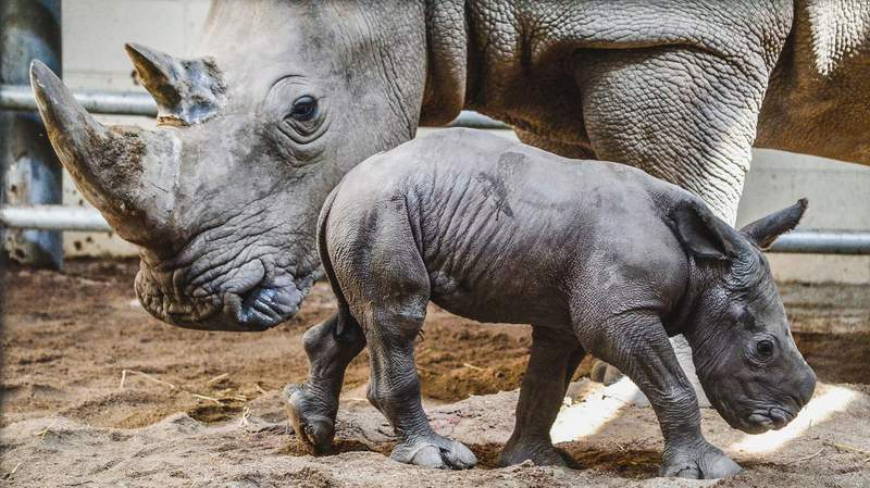 The Virginia Zoo announced the birth of its first-ever Southern White Rhinoceros, born to mom, Zina, and dad, Sibindi on Sunday, July 11, 2021.