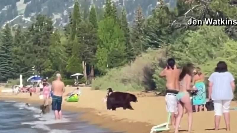 Family of black bears play in water in Lake Tahoe
