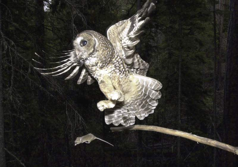 """FILE - In this May 8, 2003, file photo, a Northern Spotted Owl flies after an elusive mouse jumping off the end of a stick in the Deschutes National Forest near Camp Sherman, Ore. The Trump administration has slashed more than 3 million acres of protected habitat for the northern spotted owl in Oregon, Washington and northern California, much of it in prime timber locations in Oregon's coastal ranges. Environmentalists are accusing the U.S. Fish and Wildlife Service under President Donald Trump of taking a """"parting shot"""" at protections designed to help restore the threatened owl species. (AP Photo/Don Ryan, File)"""