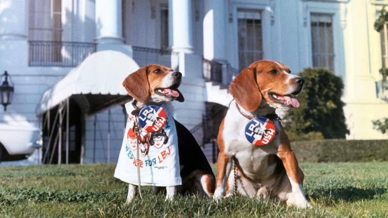The Johnson beagles in front of the White house, wearing campaign buttons for Lyndon B. Johnson for President.