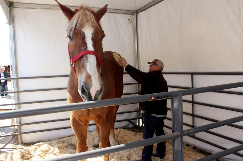 THIS CORRECTS THAT BIG JAKE WAS CERTIFIED AS THE TALLEST HORSE IN 2010, NOT 2020 AS ORIGINALLY SENT - FILE - Jerry Gilbert brushes Big Jake at the Midwest Horse Fair in Madison, Wisc., in this Friday, April 11, 2014, file photo. The worlds tallest horse has died in Wisconsin. WMTV reported Monday, July 5, 2021, that the 20-year-old Belgian named Big Jake died several weeks ago. Big Jake lived on Smokey Hollow Farm in Poynette. Big Jake was 6-foot-10 and weighed 2,500 pounds. The Guinness Book of World Records certified him as the worlds tallest living horse in 2010. The farms owner, Jerry Gilbert, says Big Jake was a superstar and a truly magnificent animal.  (AP Photo/Carrie Antlfinger, File)