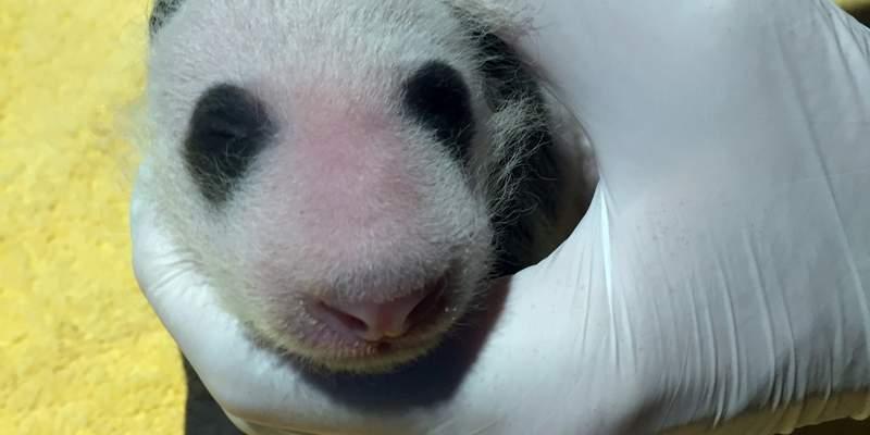 Picture of giant panda baby taken Sept. 13, 2020.