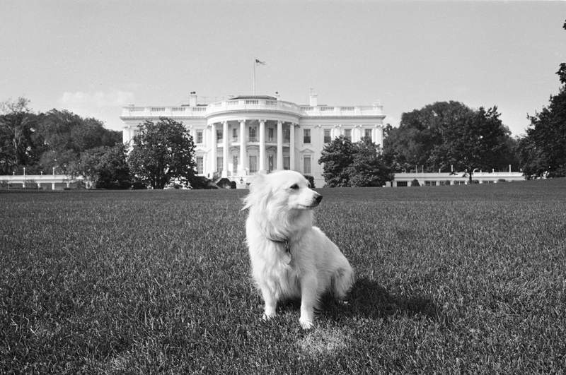 Pushinka, a gift to President John F. Kennedy from Soviet Premier Nikita Khrushchev, stands her ground on the White House lawn, Aug. 14, 1963, while the rest of the family's dogs vacation with the first family at Cape Cod. Pushinka was the offspring of Soviet space dog Strelka. (AP Photo/William J. Smith)