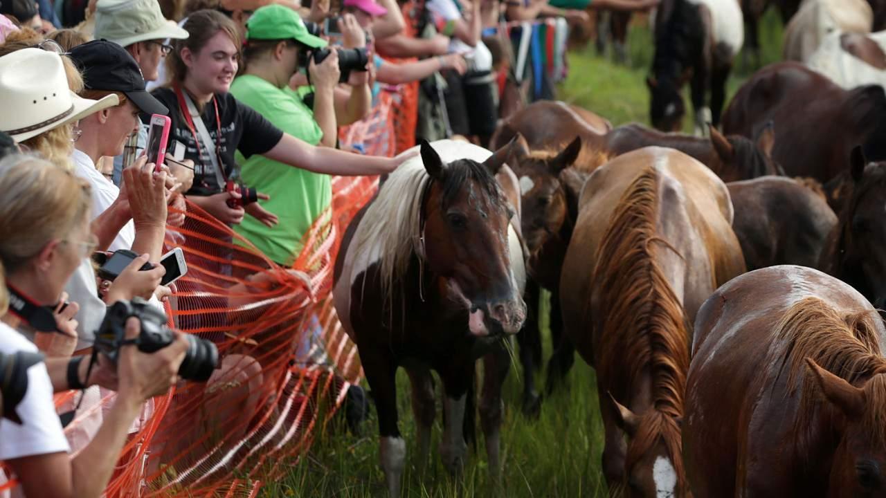Chincoteague Pony Swim Canceled For