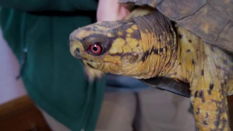 Meet Axle, Mill Mountain Zoo's awesome box turtle