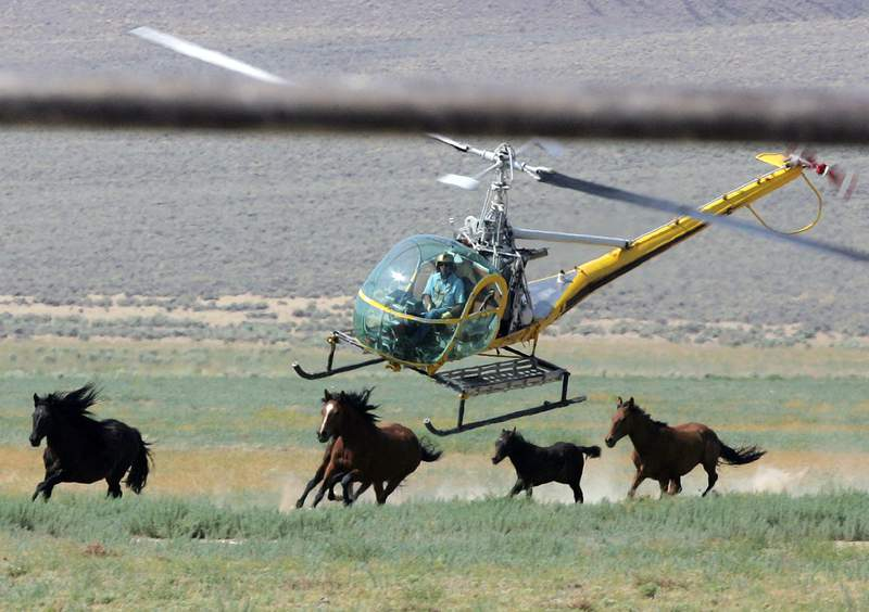 FILE - In this July 13, 2008, file photo, a livestock helicopter pilot rounds up wild horses from the Fox & Lake Herd Management Area in Washoe County, Nev., near the town on Empire, Nev. Federal land managers say they're beginning to capture about 50% more horses than they originally planned this year across public U.S. rangeland across the West because of severe drought conditions, about 6,000 additional animals primarily in Nevada, Oregon and Colorado. Horse protection advocates critical of the move said the emergency roundups are being driven by pressure from ranchers who don't want the mustangs competing with their livestock for limited forage and water on drought-stricken range. (AP Photo/Brad Horn, File)