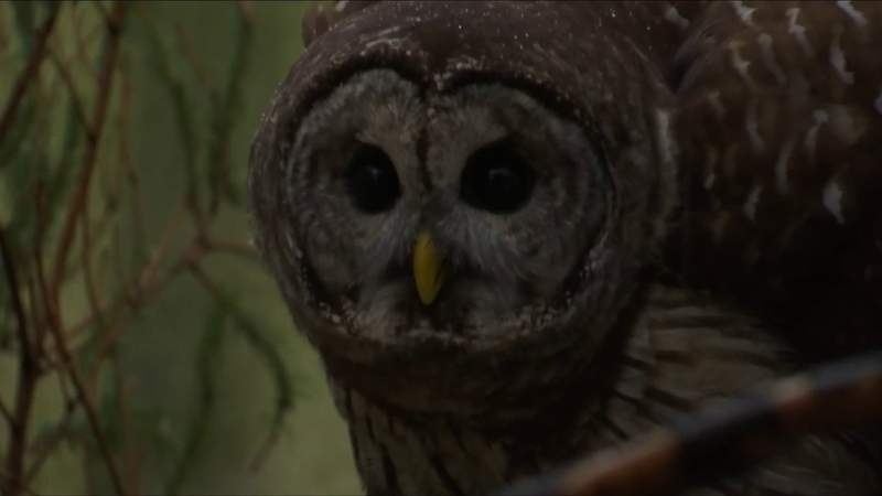 Injured Barred Owl released back into the wild by Southwest Virginia Wildlife Center